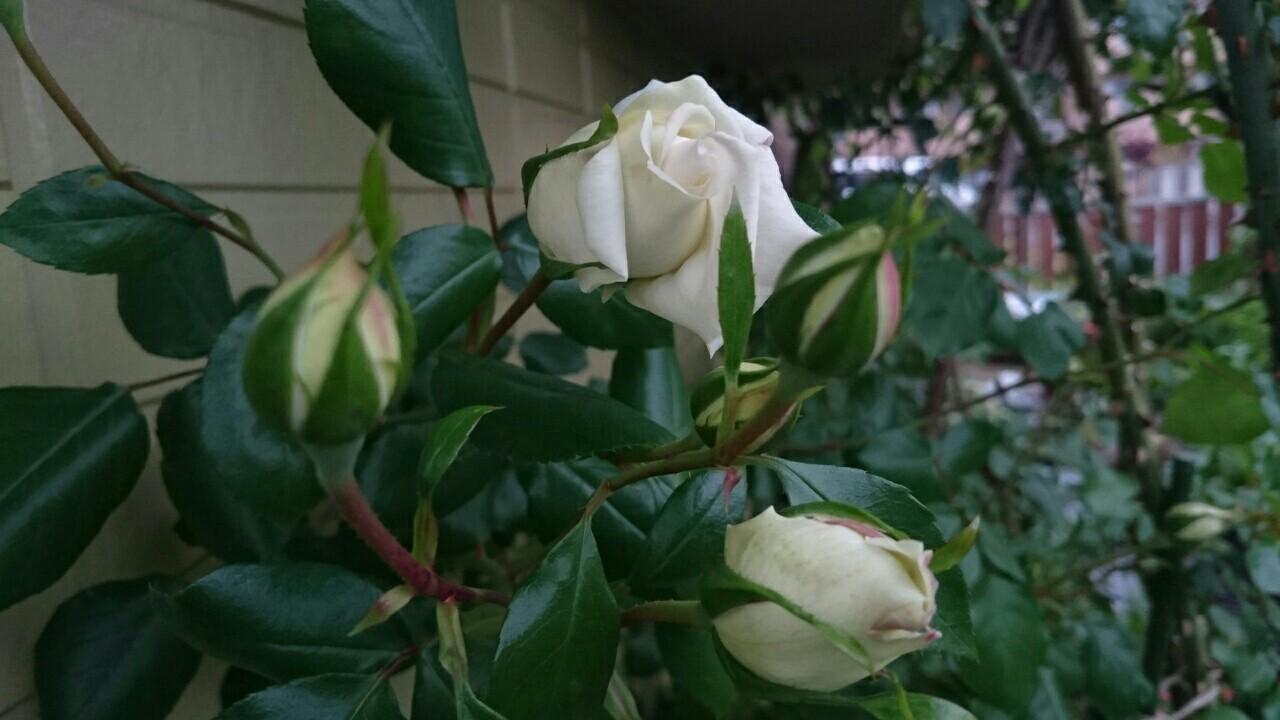 f:id:y-garden:20170510065221j:image