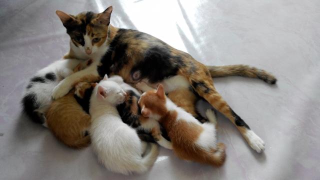 母猫の母乳を飲む子猫たちの画像