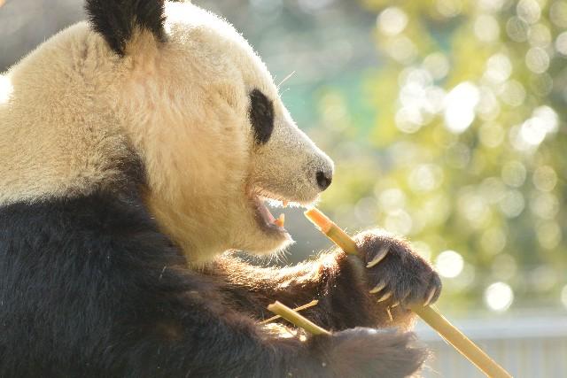 笹を食べるパンダの画像