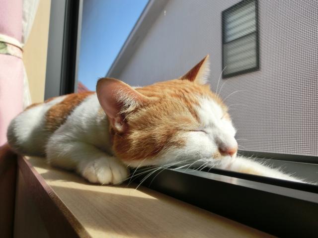 部屋の窓際で爆睡する猫