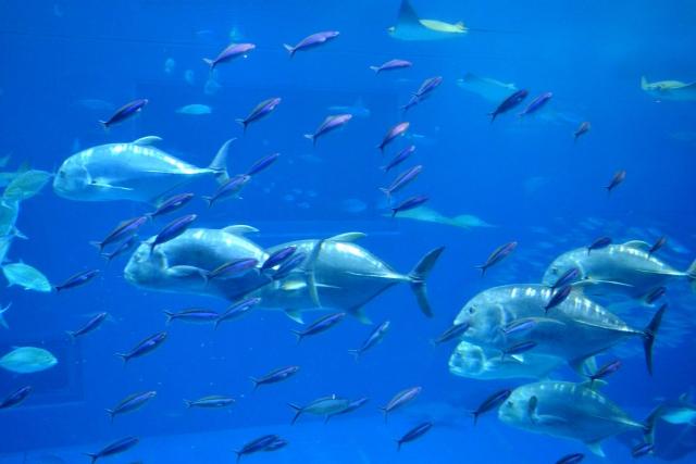 水族館の大きな水槽で泳ぐ魚の写真