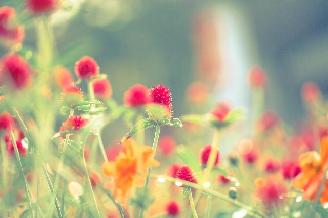 野に咲く赤い小さな花の画像