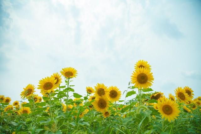 青空の下で綺麗に咲くひまわりの写真