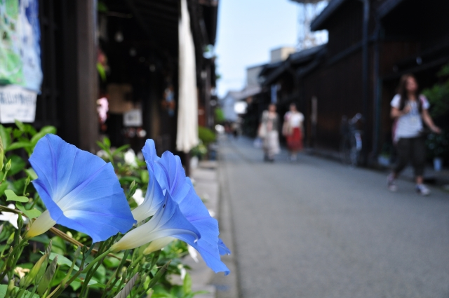 道端に咲く朝顔の写真