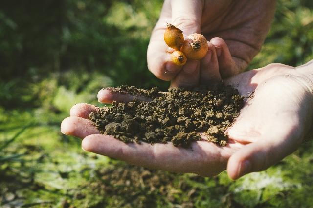 球根を土に植えようとしている写真