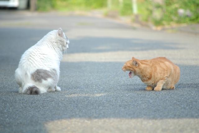 威嚇し合う猫の写真