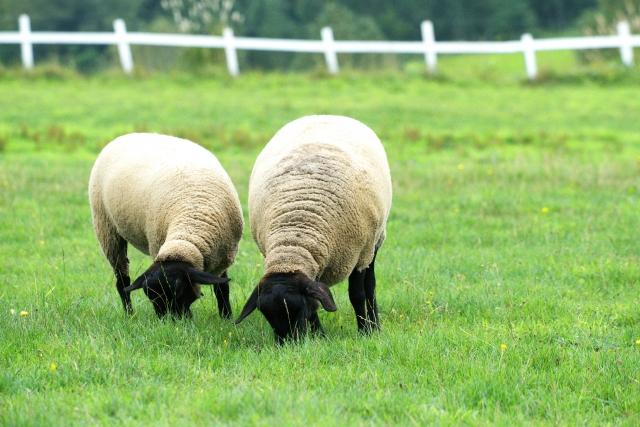 牧場にいる羊の写真