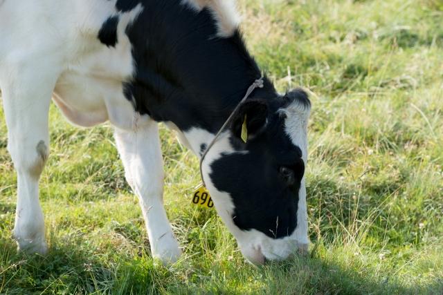 草を食べている牛の写真