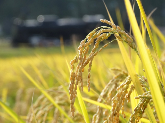 頭を足れる稲の写真