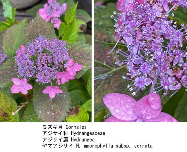f:id:yachikusakusaki:20200603150649j:plain