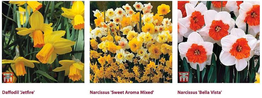 絶対に食べてはいけない毒のある花 1. Daffodil水仙 -リコリンという ...
