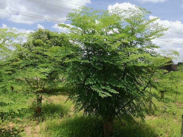 モリンガ ミラクルツリー Moringa