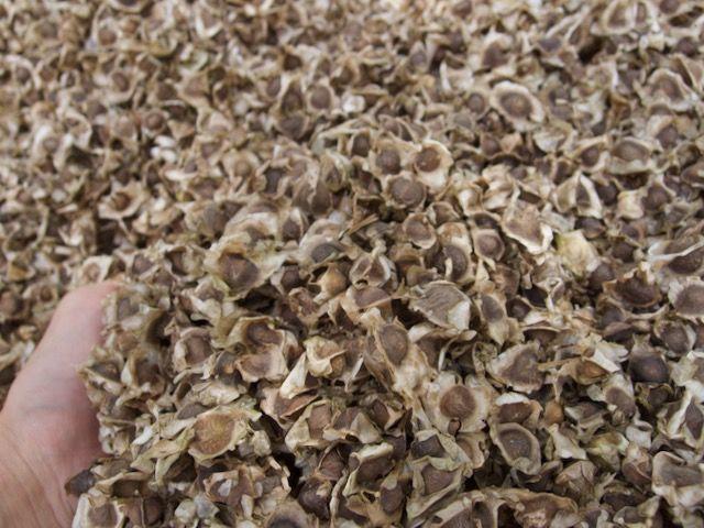 モリンガ 種 Moringaseed