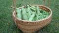 饅頭篭にソラマメ収穫