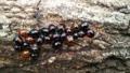 てんとう虫の冬ごもり 模様が違っても仲良く。人間だってそのくらい