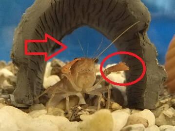 ザリガニの触角とハサミにダメージ