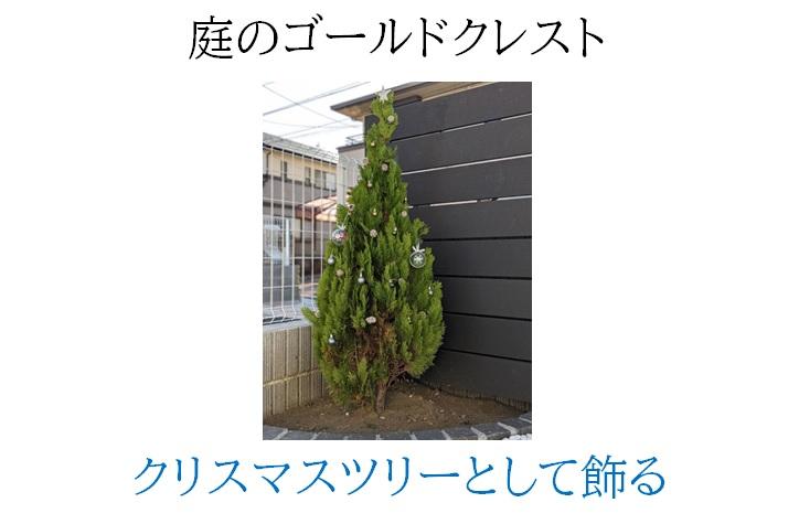 庭のゴールドクレストにクリスマスの飾り付け