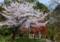 京都新聞写真コンテスト サクラ撮影の撮影