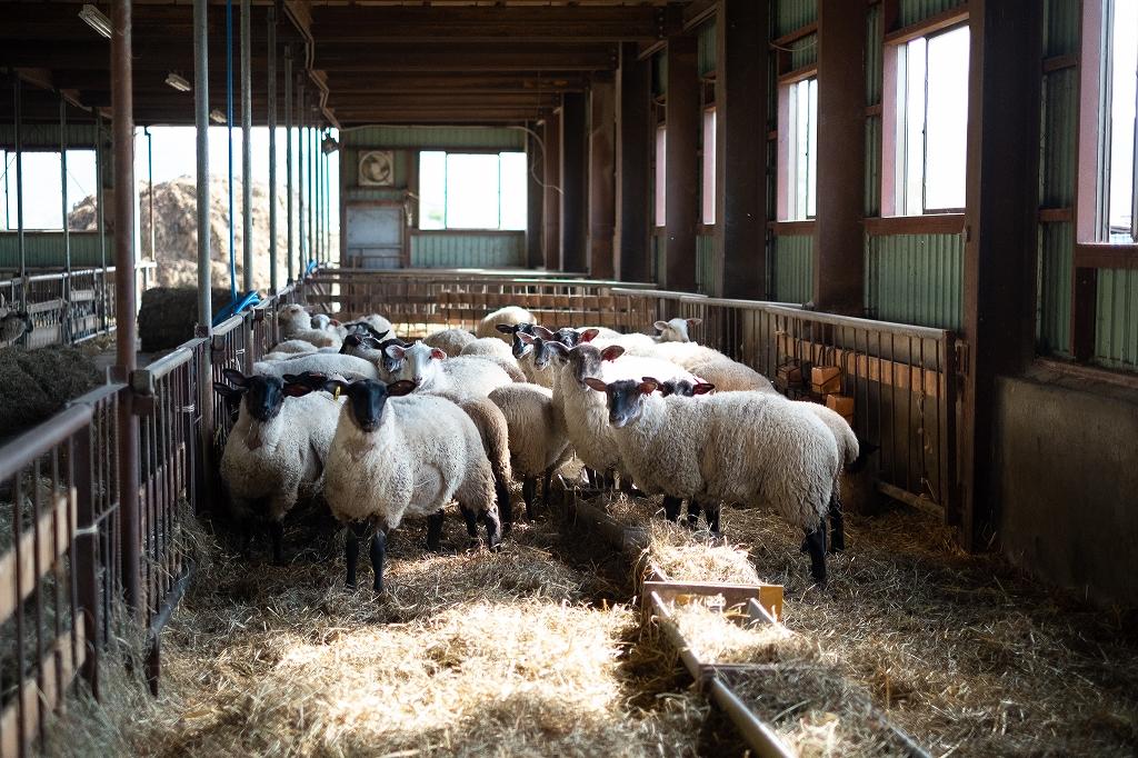 西川農場 アスパラ羊