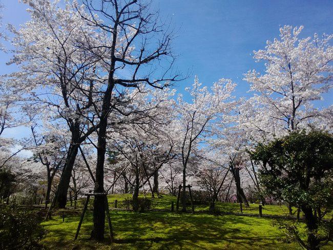 002_公園の桜1