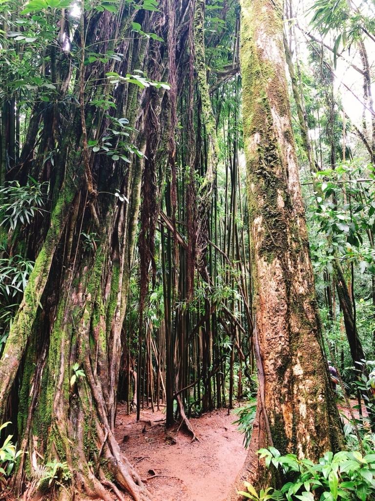 マヌアの滝の木