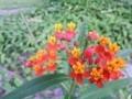 トウワタの花