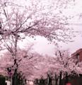 夕暮れ時の桜トンネル。満開