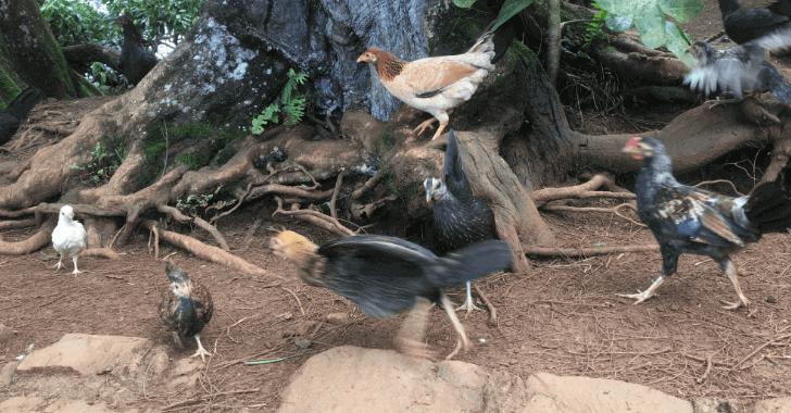 ハワイにはなぜか野生のニワトリが