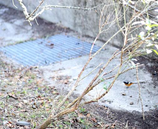庭に遊びに来たジョウビタキ