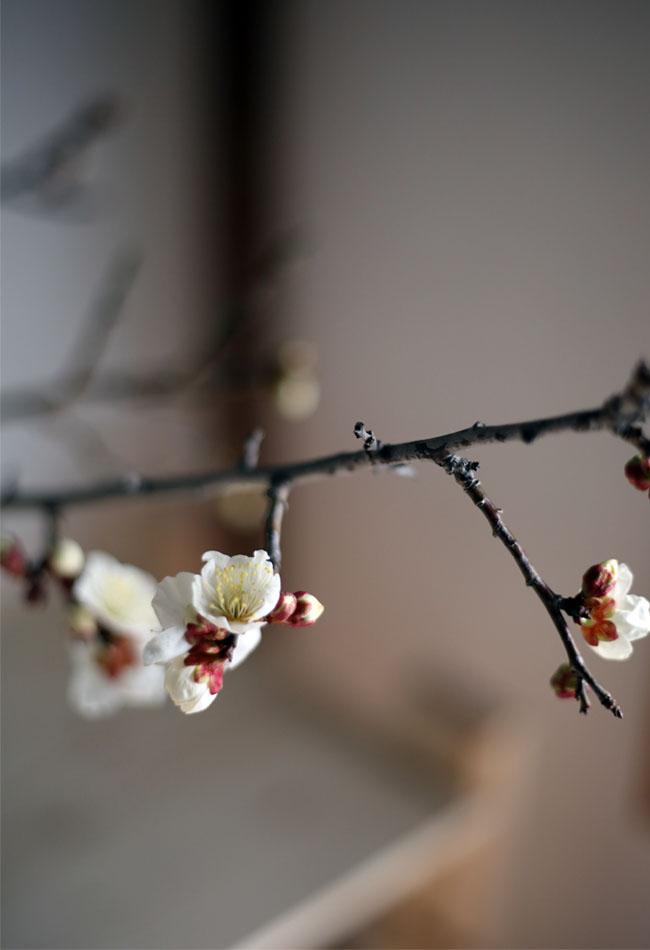 梅の花写真