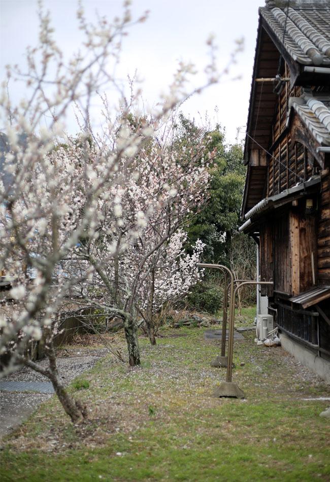 古民家の庭の梅と桜の木