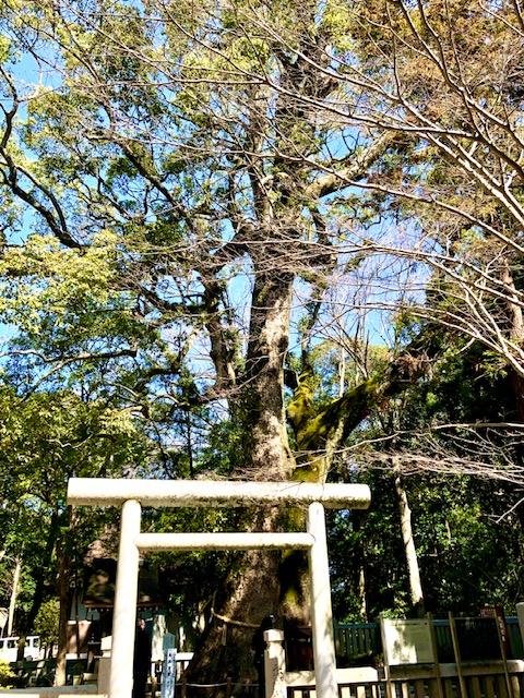 伊弉諾神社ご神木