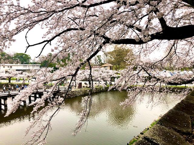 城壁からの桜