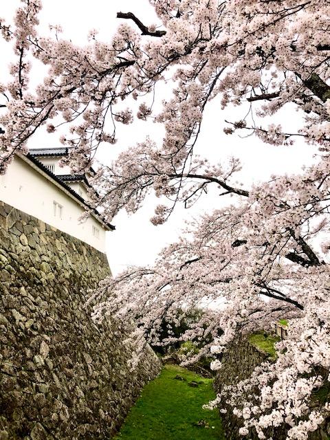 彦根城壁の桜