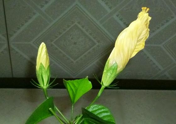 黄色いハイビスカス2つの蕾