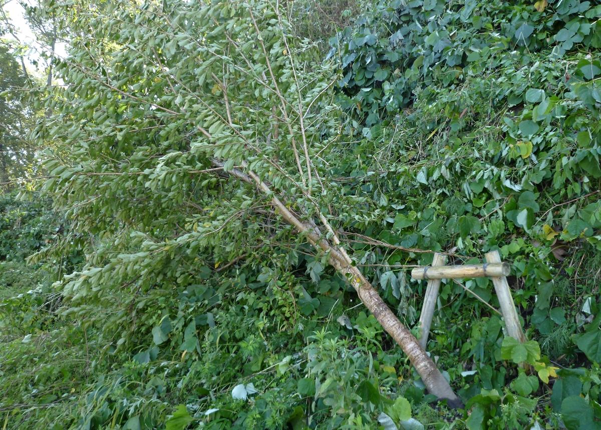 倒れかけた木