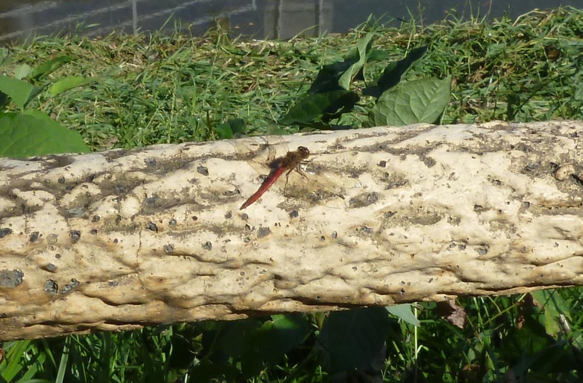 木の柵にとまった赤トンボ