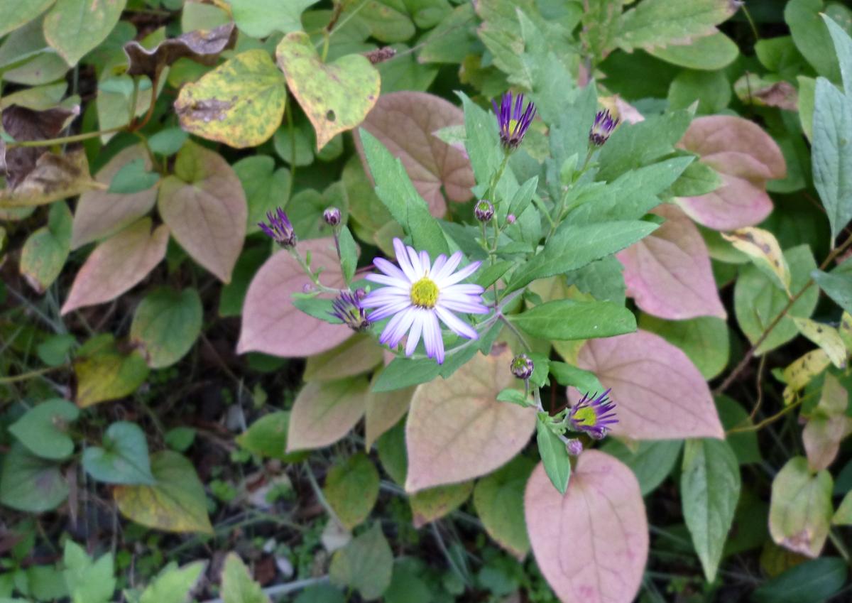 薄紫色の小菊