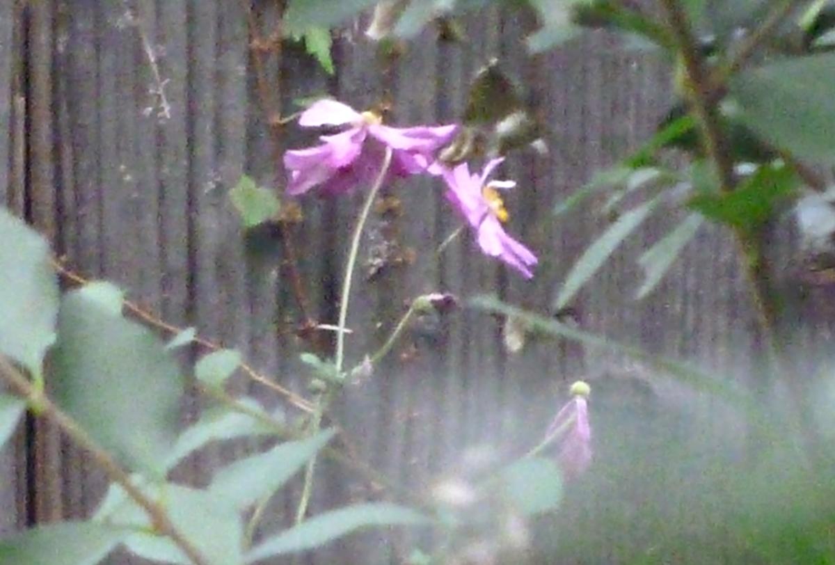 散りかけのコスモス 秋桜 種を宿している