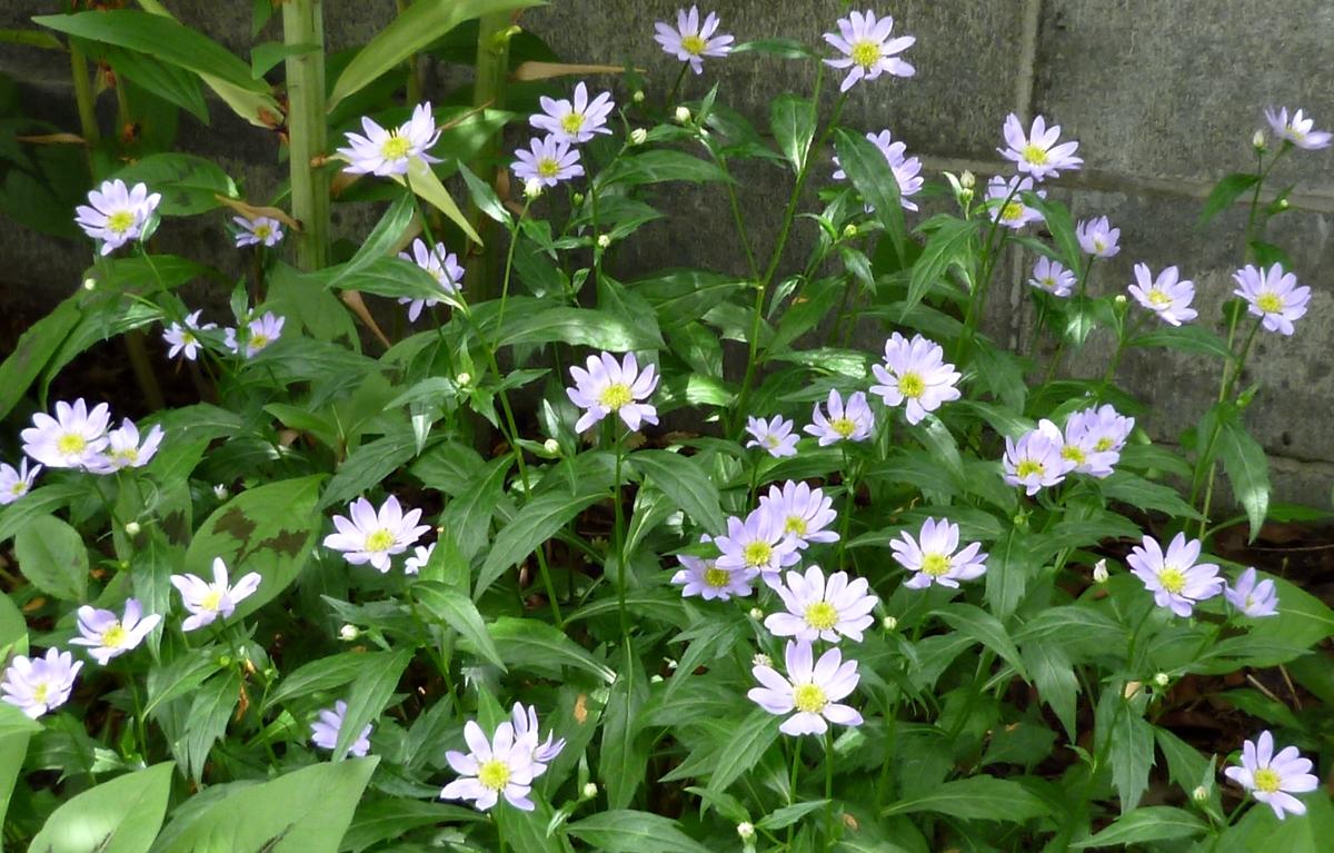 小さな白い菊たち