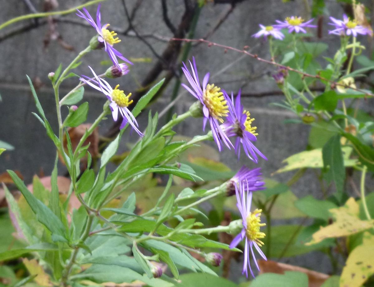 横から撮影した紫色の小さな菊