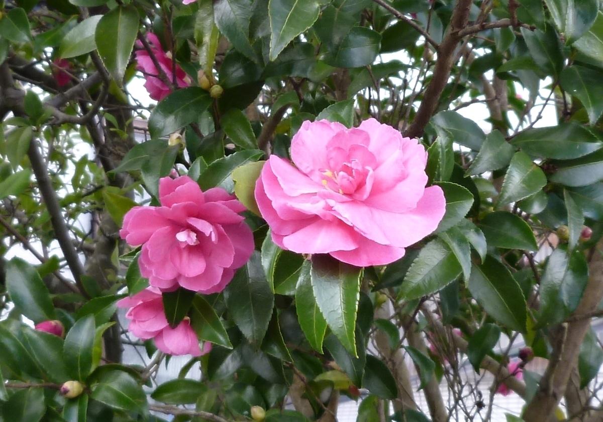初冬に咲くピンクの花