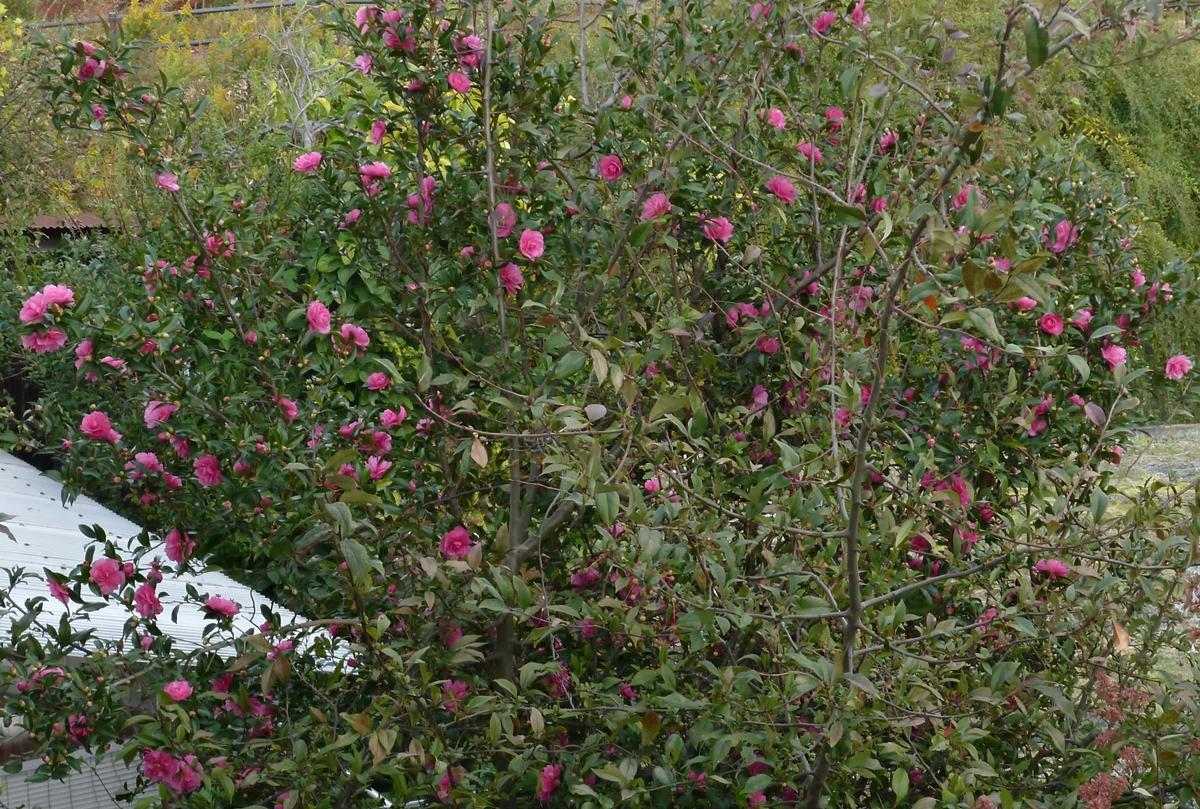 初冬に咲くピンク色の花