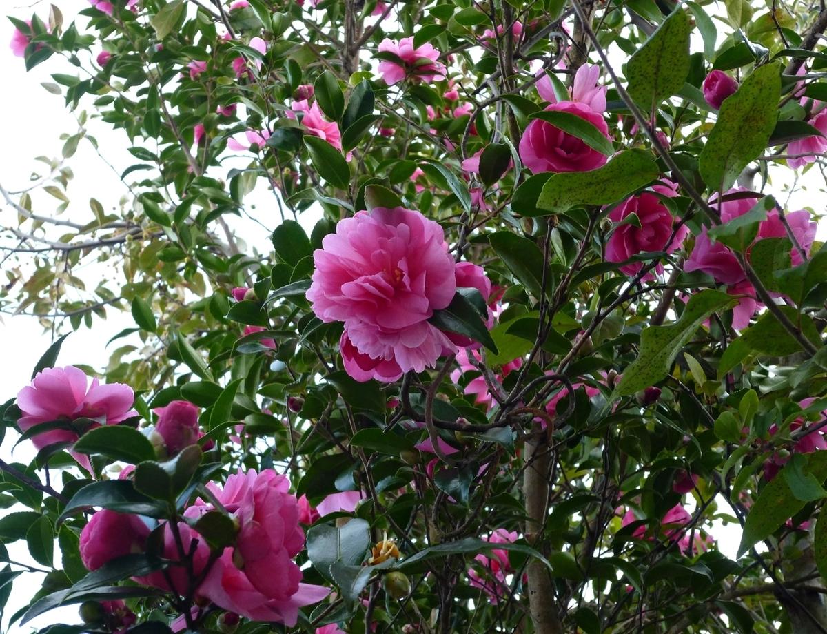 庭の山茶花 さざんか サザンカ