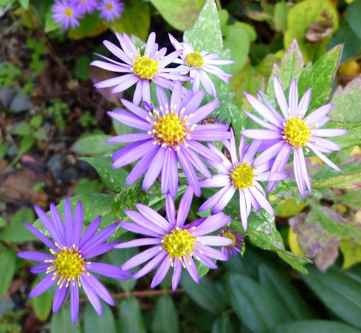 初冬に咲く紫色の小さな菊