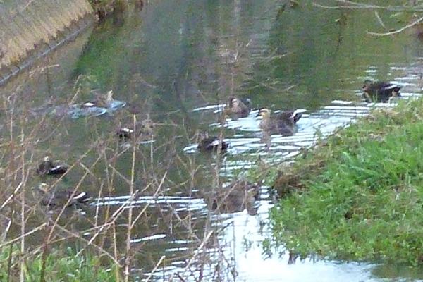 川に浮かぶカモたち