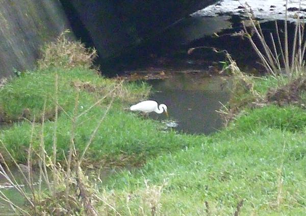 川の中を覗き込むシラサギ