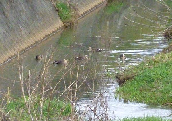 川のカモ軍団