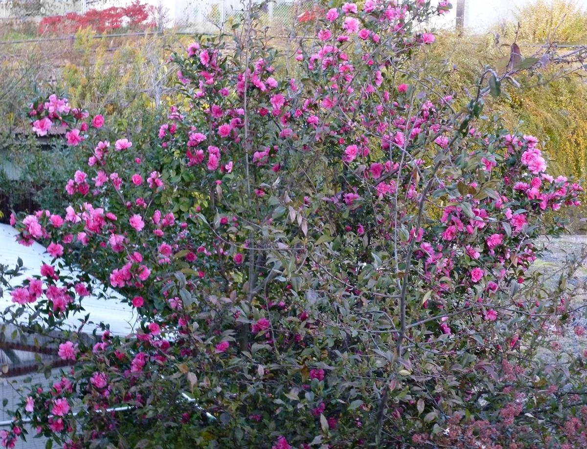 11月終盤、まだまだ咲き続ける山茶花さざんか
