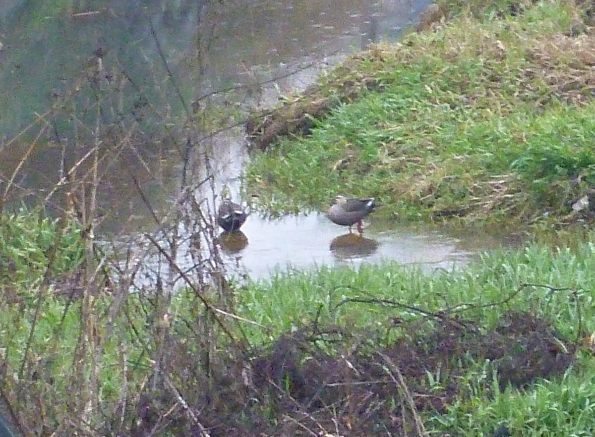 川辺の2羽のカモ